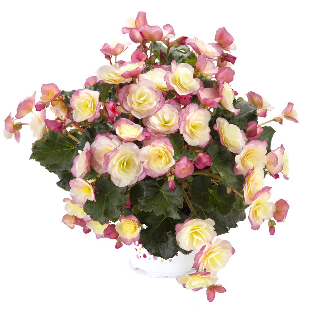 Begonia BK Collection Glory Bicolour℗