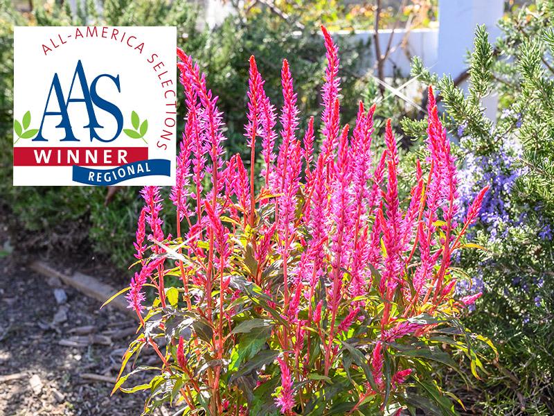 Kelos Candela Pink Regional Winner Of The AAS