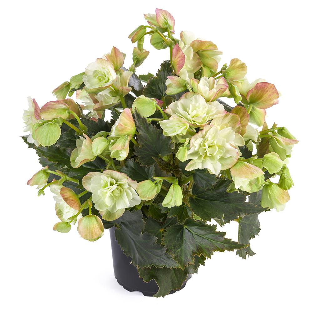 Begonia BK Collection Beel 4348