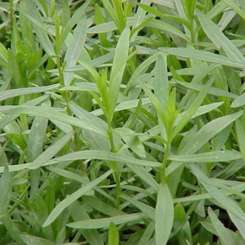 Artemisia Pfefferkorn