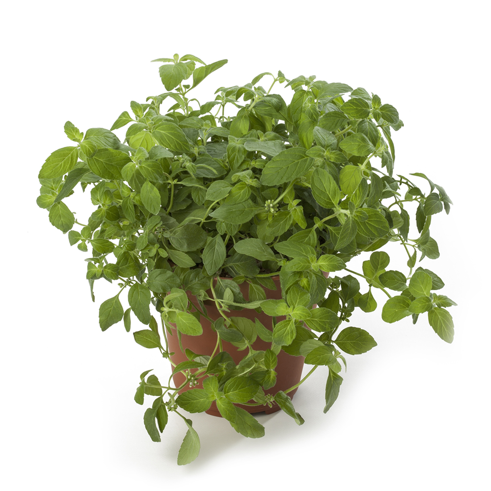 Herbs From Cutting Banana Mint