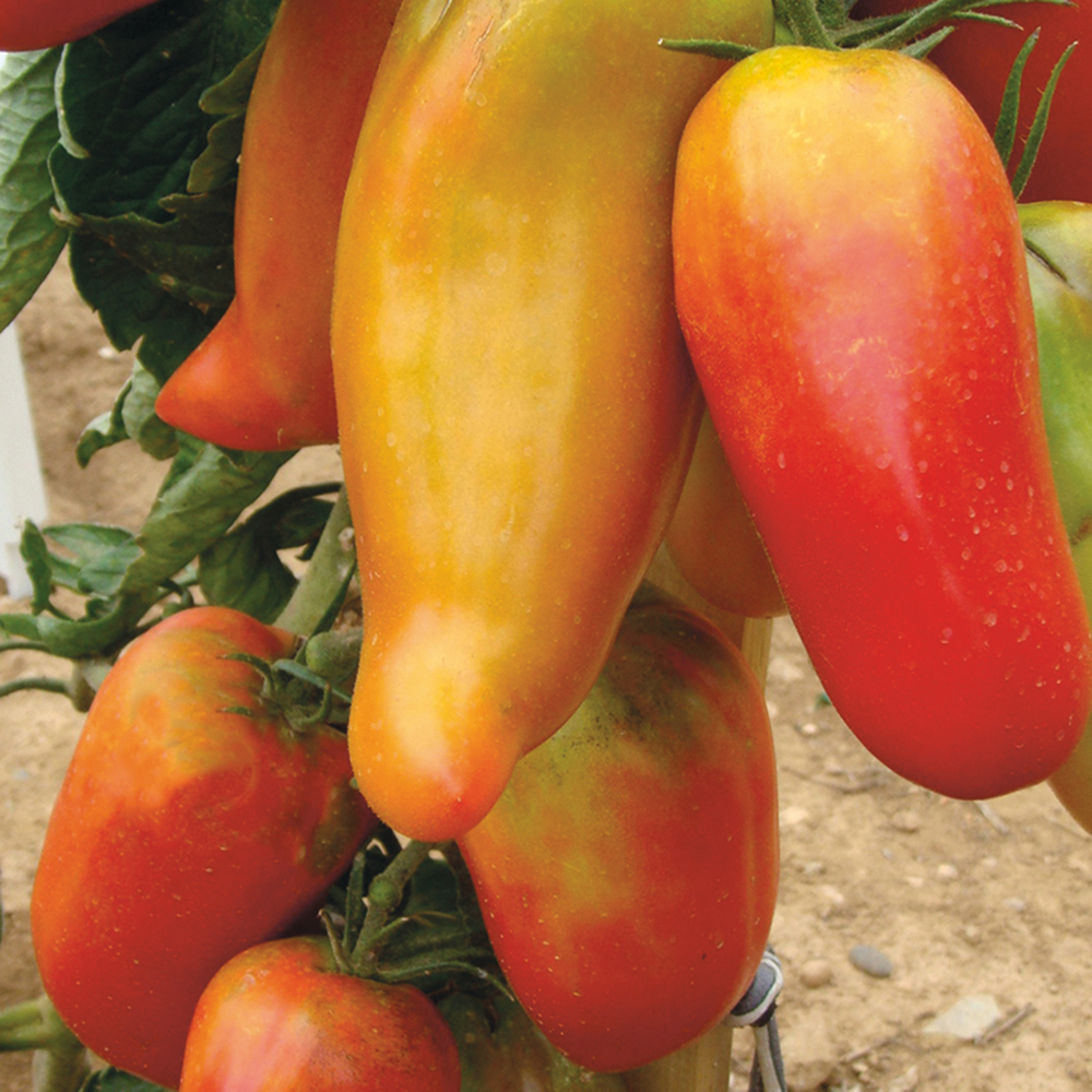 Vegetables Andine Cornue
