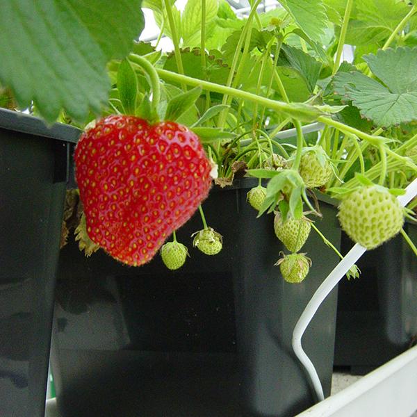 Speciale aardbeienbakken