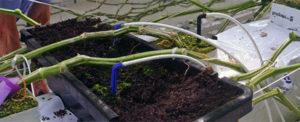 Reroot komkommer substraatbak