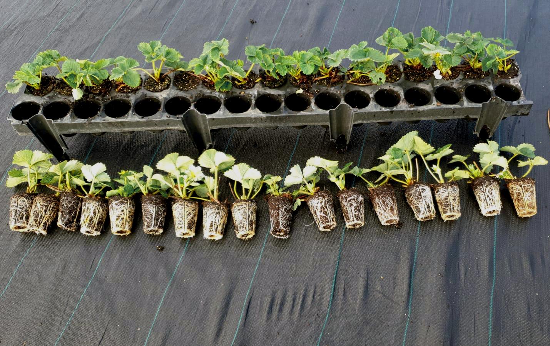 34-holes strawberry tray Beekenkamp
